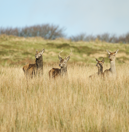 Young Stags and Hinds on the Exmoor Forrest