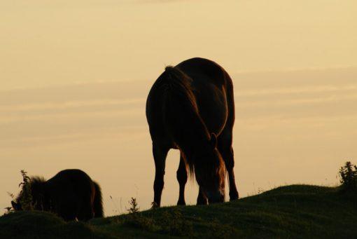 Exmoor pony Sillouette