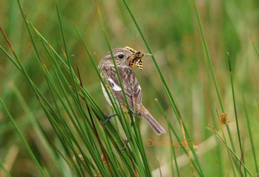Female Stonechat Exmoor