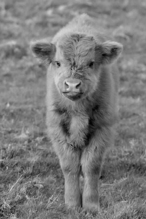 Highland Calf B_W