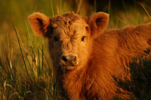 Highland Calf, Exmoor