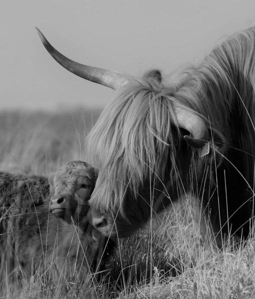 Highland Cow _ Calf B_W