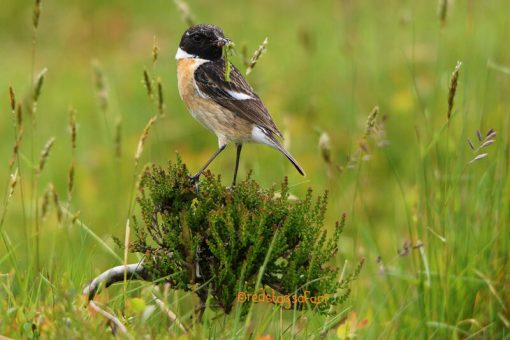 Male Stonechat with Catterpillar Exmoor