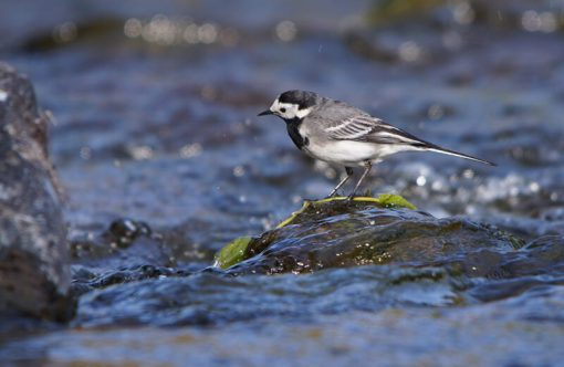 Pied Wagtail Exmoor