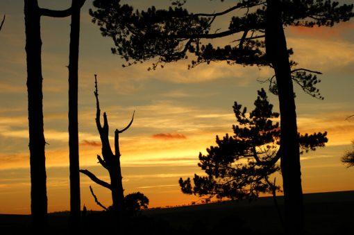 Pine Sillouette