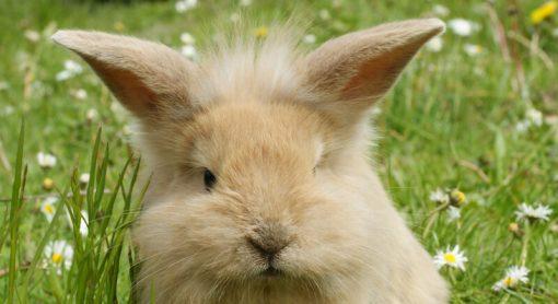 Rabbit Exmoor