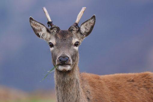 Red Deer Pricket