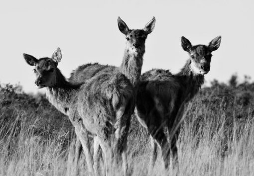 Trio of Hinds B_W
