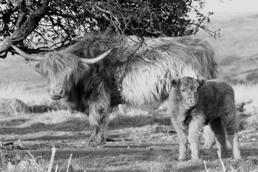 highland Cattle B_W