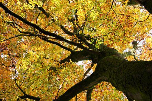 Exmoor Beech Trees