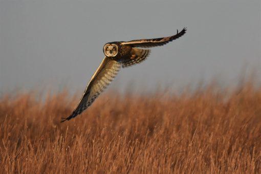 Short Eared Owl Swooping